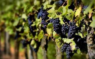 Какие сорта винограда считают сверхранними