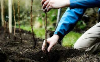 Как пересадить ремонтантную малину осенью