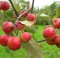 У яблони желтеют листья