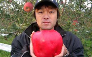 Самое большое в мире яблоко