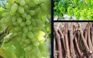 Как вырастить саженец винограда из чубука