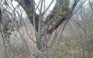 Волчковые побеги на яблоне