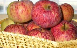 Сорт яблони грушовка зимняя