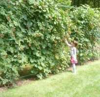 Где посадить малину на участке