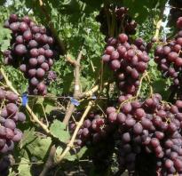 Сорт винограда памяти учителя