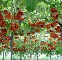 Как вырастить томатное помидорное дерево спрут f1 в открытом грунте