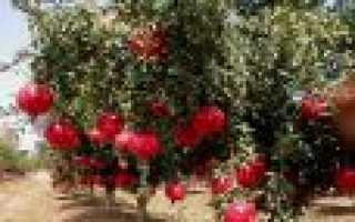 Особенности и характеристика дерева гранат