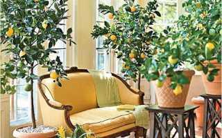 Сорта лимона для домашнего выращивания