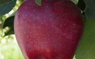 Спуровая яблоня старкримсон