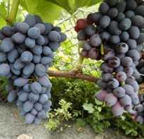 Достоинства и недостатки винограда юпитер