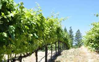 Подвязывание винограда как правильно это сделать