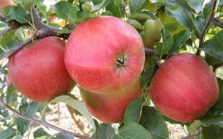 Яблоки лиголь описание
