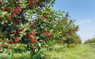 Правила размножения вишни