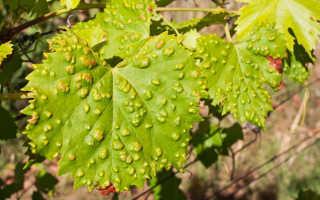 20 эффективных способов лечения винограда от оидиума
