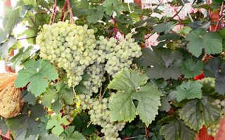 Обработка черенков винограда марганцовкой