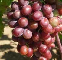 Винограда вишневецкого все сорта краткое описание