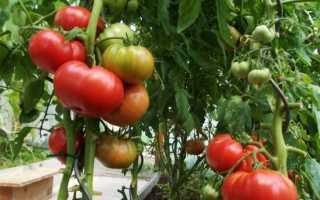 Характеристика помидор малиновка