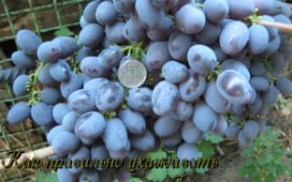 Сорт винограда гала описание характеристика