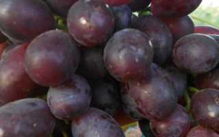 Виноград багровый описание сорта урожайность выращивание и отзывы