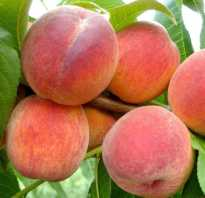 Выращивание персика редхейвен