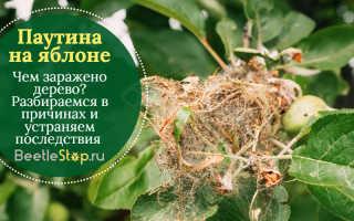 Паутина на яблоне и методы борьбы с ней