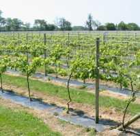Особенности технических сортов винограда