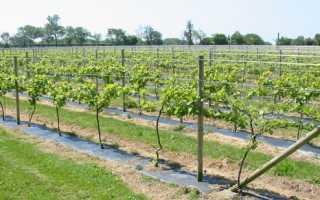 Основная технология выращивания столового винограда