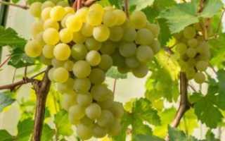 Сорт винограда фрумоаса албэ с фото и видео