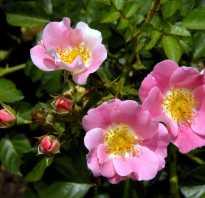 Простая наливка из розы