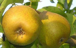 Груша лира особенности сорта и правила выращивания