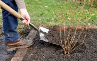 Что делать с черной смородиной осенью