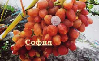 Особенности винограда велес