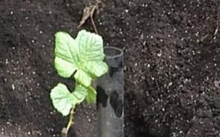 Как садят виноград чубуками осенью