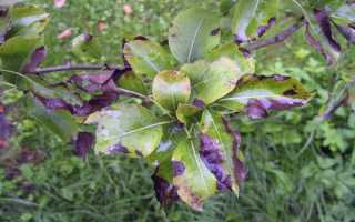 Лечение бактериального ожога яблони