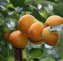 Время сбора абрикосов