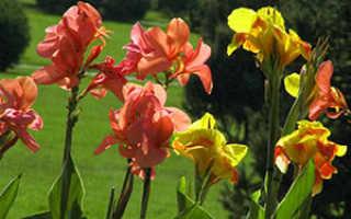 Канны выращивание и уход в саду