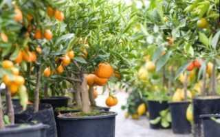 Основы выращивания комнатных цитрусов