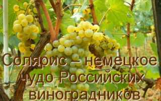 Технический сорт винограда солярис