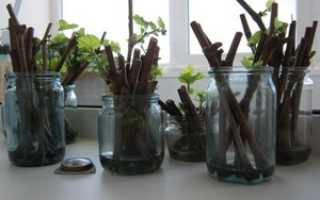 Размножение винограда общие условия