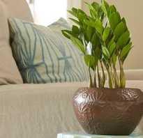 Как поливать долларовое дерево в домашних условиях
