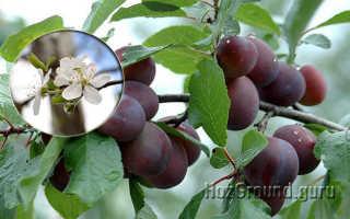 Период начала плодоношения сливы после посадки