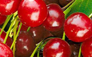 Выращивание вишни булатниковская
