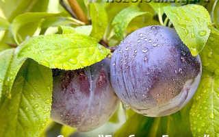 Выращивание сливы бербанк