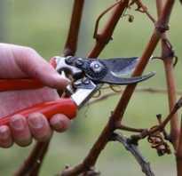 Обрезка винограда как привести в порядок старый виноград