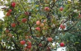 Когда надо обрезать яблони осенью