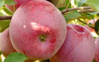 Выращивание яблони флорина