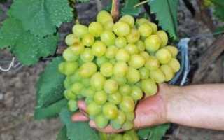 Гибридный сорт винограда галахад