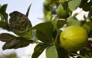 Причина появления желтых пятен на листьях лимонного дерева