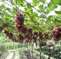 Арочный виноград особенности сорта