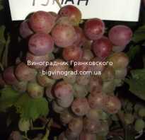 Выращивание винограда сиреневый туман